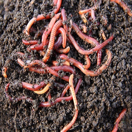 Vermiculture(Earthworms) in India