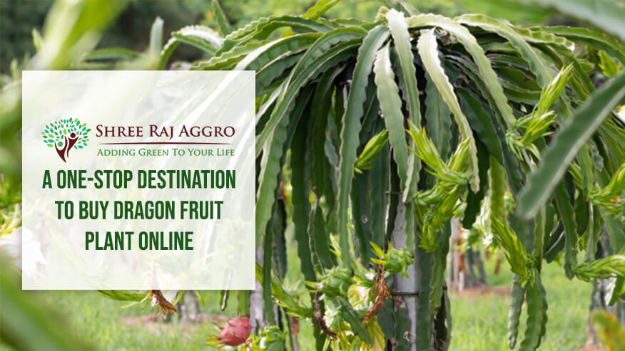 A one-stop destination to buy Dragon fruit plant online