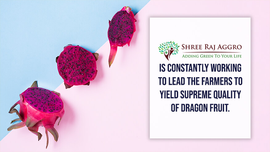 constantly working to lead the farmers to yield supreme quality of dragon fruit